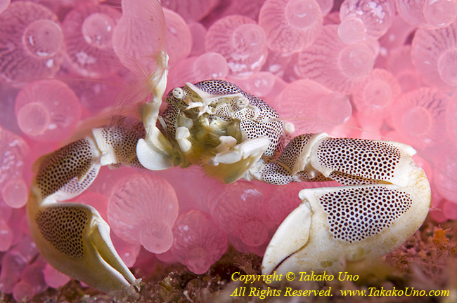 Crab 01t Porcelain 6256 Takako UNO