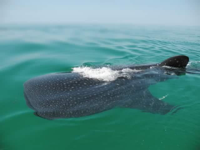whale-shark_2