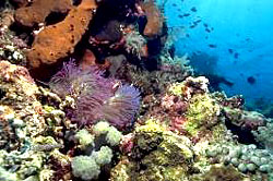 Anemone reef Phuket scuba diving Day trip Similan thailand diving vacation tour Phi Phi Island
