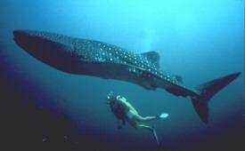 Whale Shark Thailand Liveaboard diving cruising and Similan island liveaboards with Dive Asia